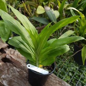 Catasetum Orchiglades Davie Ranches