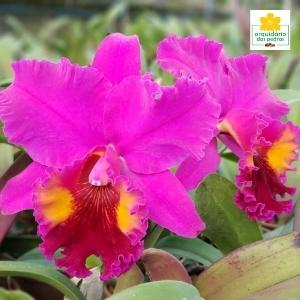 Comprar orquídea direto do produtor