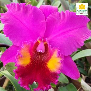 Comprar orquídeas cattleyas direto do produtor