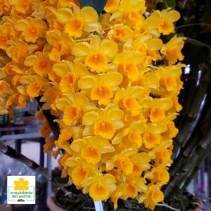 Dendrobium densiflorum preço
