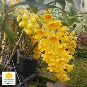 Dendrobium densiflorum valor
