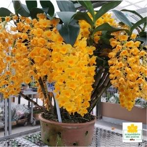 comprar Dendrobium densiflorum