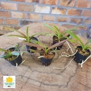 comprar-orquídeas-vandas-baratas