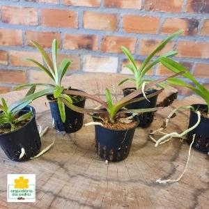 orquídeas vandas baratas