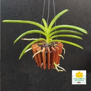 orquidea vanda