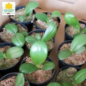 phalaenopsis belina