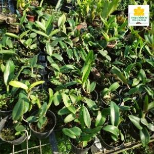 orquídeas baratas