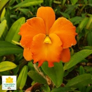 Lc Orange Show
