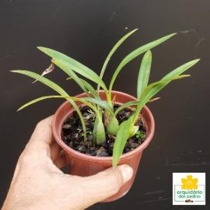 Maxillaria schunkeana – Orquídea Negra
