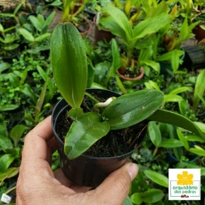 muda orquidea cattleya