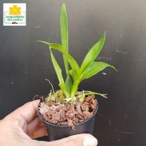 muda orquidea oncidium