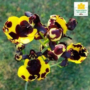 muda orquídea rara